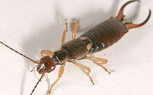 kıskaç böceği